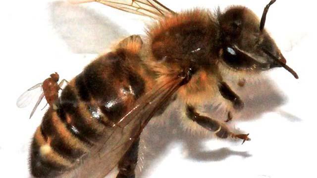 447033-bee-parasites-resized