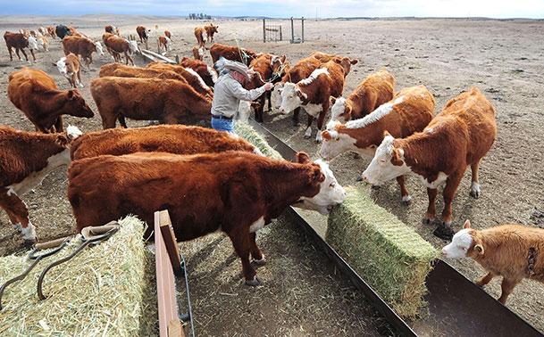 140205-calif-drought-cattle-jms-2100_50dcf16aca11c5de20e40de631eb7e43