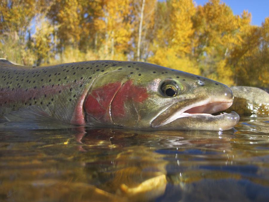 bigstock-Boise-River-steelhead-trout-45483820