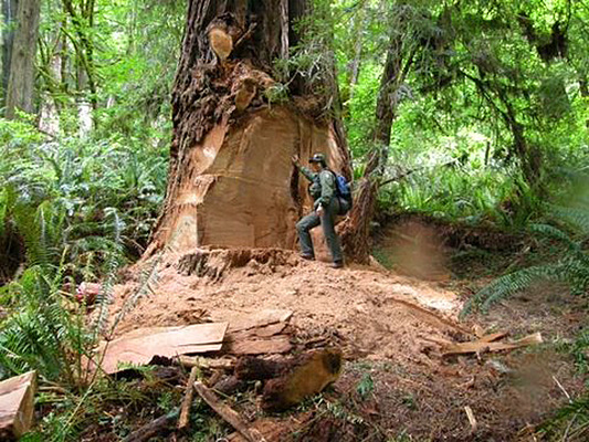 Poachers-thieves-threaten-California-Giant-Redwood-sequoia-trees-cutting-burls-and-bunions-from-trees-national-forest-Newton-B-Drury-Parkway-closed