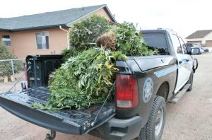 Русские иммигранты выращивали плантацию марихуаны в Колорадо
