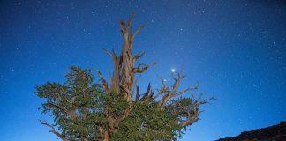 Древнейшеее дерево на Земле