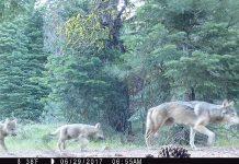 редкий вид волков